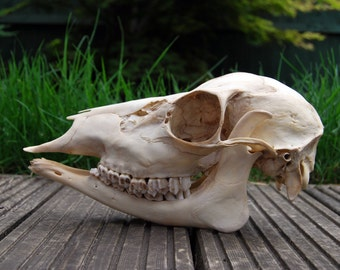Fallow Doe Deer Skull