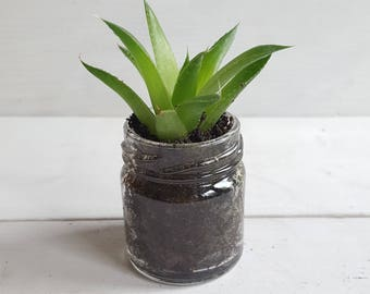 Sempervivum / Succulent Aloe Vera Glass Jar Favours (Single Small Plant) - Gifts, Wedding Favours, Baby Shower Favours