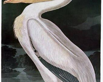 American White Pelican - Audubon bird art
