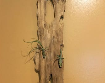 Driftwood with airplants