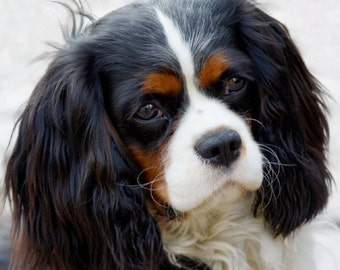 King Charles Notecards!!! Or any breed notecards packaged in a plastic bag. Free Shipping!