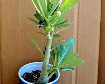 Adenium Obesum Desert Rose Seediling (Ko 80)