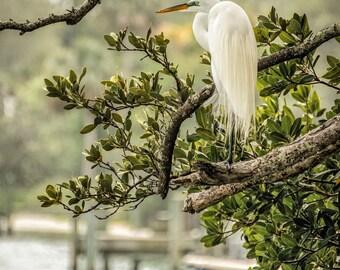 Great Egret Resting, Bird,Nature,Photograph,Tree,Coastal,Art,    Wall Art,