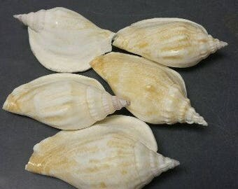 Strombus Epidromis Seashells  (2 Shells)