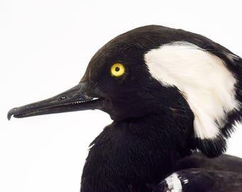 Taxidermy duck, Hooded merganser