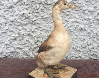 Taxidermy water bird
