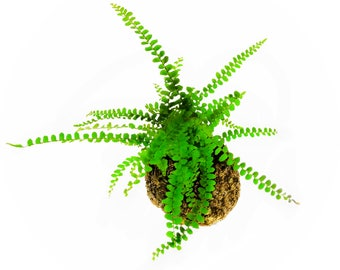 Fern Moss Ball, Indoor Fern Hanging Globe Plant, Lemon Button Fern for Home Decor, Best Moss Ball Gift of Japanese Kokedama