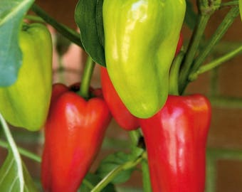 Peppers Gypsy Live Plant Fit 1 Gallon Pot Fruit ready