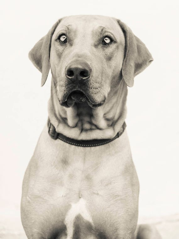 Dog Print. Rhodesian Ridgeback, Dog Portrait, Animal Portrait, Beautiful Dog, Black and White Print, Limited Edition, Pet Portrait.