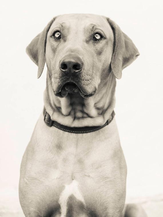 RHODESIAN RIDGEBACK. Dog Portrait, Animal Portrait, Beautiful Dog, Black and White Print, Limited Edition, Pet Portrait.