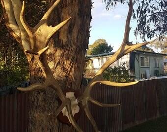 Real Stag Red Deer Antlers
