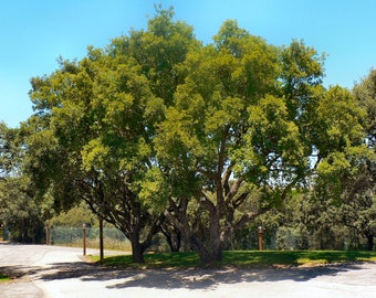 Free Shipping! 5 seeds of Portuguese oak trees (Quercus faginea)! Easy to plant!!! Fresh seeds From Portugal!
