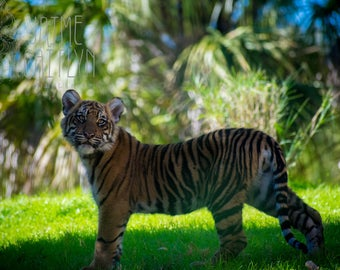 Tiger Cub Wildlife Photography