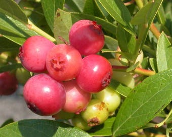 "TWO Plants...Blueberry ""Pink Lemonade"", LIVE Plant, High Bush, Vaccinium"