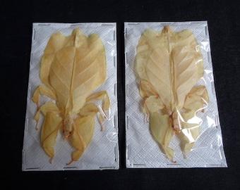 Phyllidae: Phyllium bioculatum pulchrifolium transparent (2 pcs)