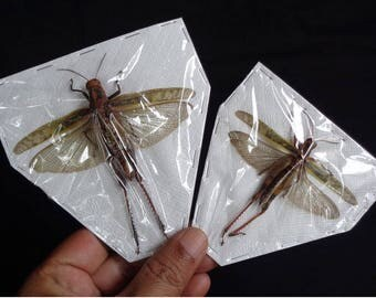 Orthoptera sp 01 (pair)