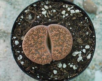 Lithops Stone Face Succulent
