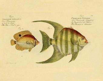 Fish Print, Fish Wall Art, fish art, fish illustration, vintage print, vintage fish print, art print, fish decor, vintage fish, nautical art