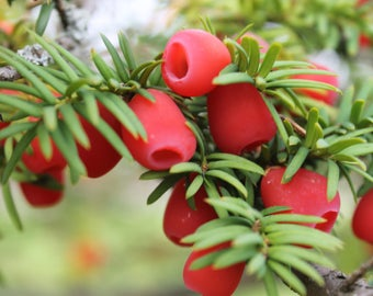 10 Taxus baccata Seeds, English Yew Seeds