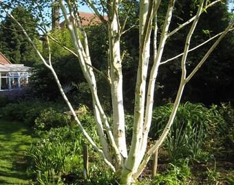 20 Seeds Betula jacquemontii - White Himalayan Birch  tree Seeds
