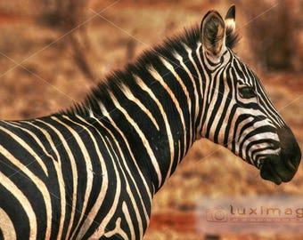 Kenya Safari, Zebra, Animal Wildlife Print Photograph, Wall Decor