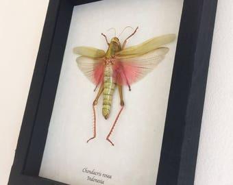 Real giant grasshopper framed - Chondacris rosea (female)