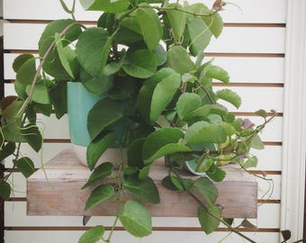 HARD TO FIND! Arabian Wax Ivy Cuttings (5)