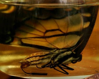 Eastern Tiger Swallowtail Wet Specimen