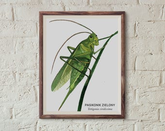 Pasikonik zielony, Green bush-cricket (Tettigonia viridissima) - illustration - print
