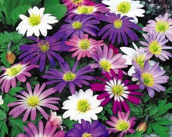 Anemone Blanda Mix Color Flower Bulb Perennial Spring Summer Blooming