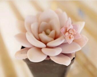 Echeveria laui, rare succulent, 10 seeds