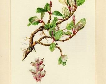 Vintage lithograph of net-leaved willow or snow willow from 1960