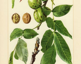 Vintage lithograph of common walnut, Persian walnut, English walnut from 1958