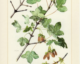 Vintage lithograph of Montpellier maple from 1958