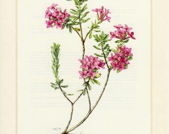 Vintage lithograph of garland flower from 1959