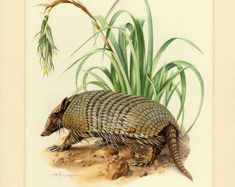 Vintage lithograph of the six-banded armadillo from 1956