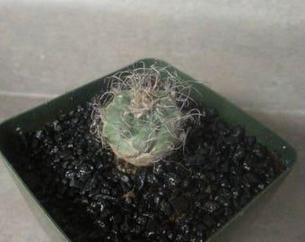 Turbinicarpus .sp