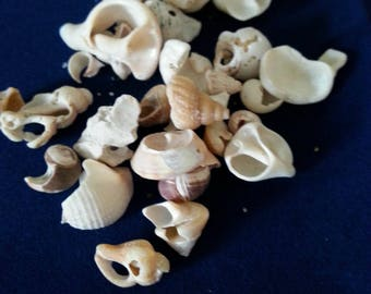 Small Eco Conch Shells /Eco Shells/Jewelry making/ Fish Tank Sea Decor/Craft shells bulk/DIY