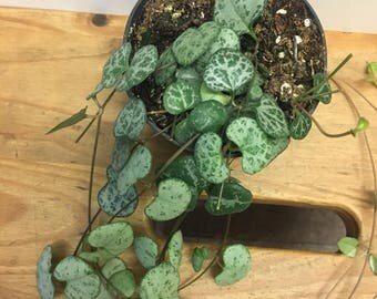 Ceropegia woodii, string of hearts plant