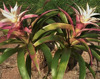 Bromeliad in twine