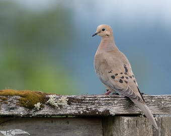 Peaceful Mourning Dove: small print, canvas