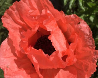 """Oriental Poppy Seed Pkt - """"Stunning Salmon"""" - available Aug-Oct - supply limited; each pod 30+seeds"""