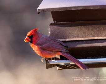 Texas Hill Country North American Cardinal, Landscape Photography, Nature, Home Decor, Interior Design, Bird Lovers