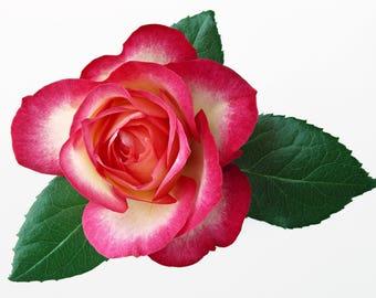 Pink and White Rose Cross Stitch Pattern