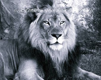 B&W Lion Print 8x10