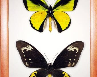 Ornithoptera goliath samson pair In the frame of the current breed of good wood