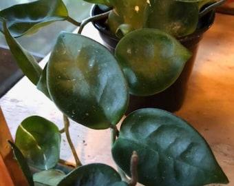 """hoya chelsea, Cactus/Succulent Vine, plant, 4"""" pot Exotic Flowering Wax House Plant"""