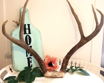 Real Deer Skull, Real Elk Antlers, Rustic , European Taxidermy Mount, Vintage Decor, Home Decor, Log Cabin Decor, Rustic Deer Antler,Antler