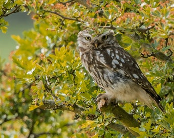 Wildlife Photographic signed mounted A4/A3 Prints of a Little Owl