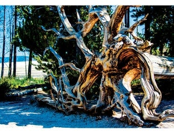 Landscape Photography - The Roots Manuva, Nature Photography, Yellowstone, Tree, Wyoming, Prints, Canvas